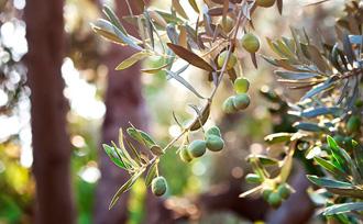 Corso olivicoltore